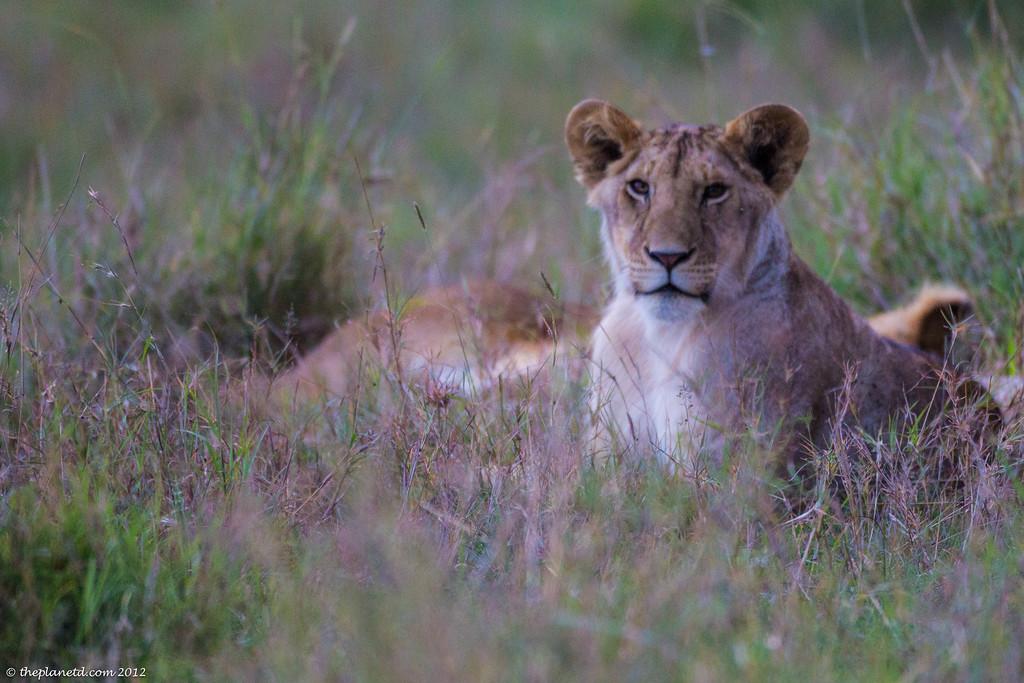 lions on safari in Kenya