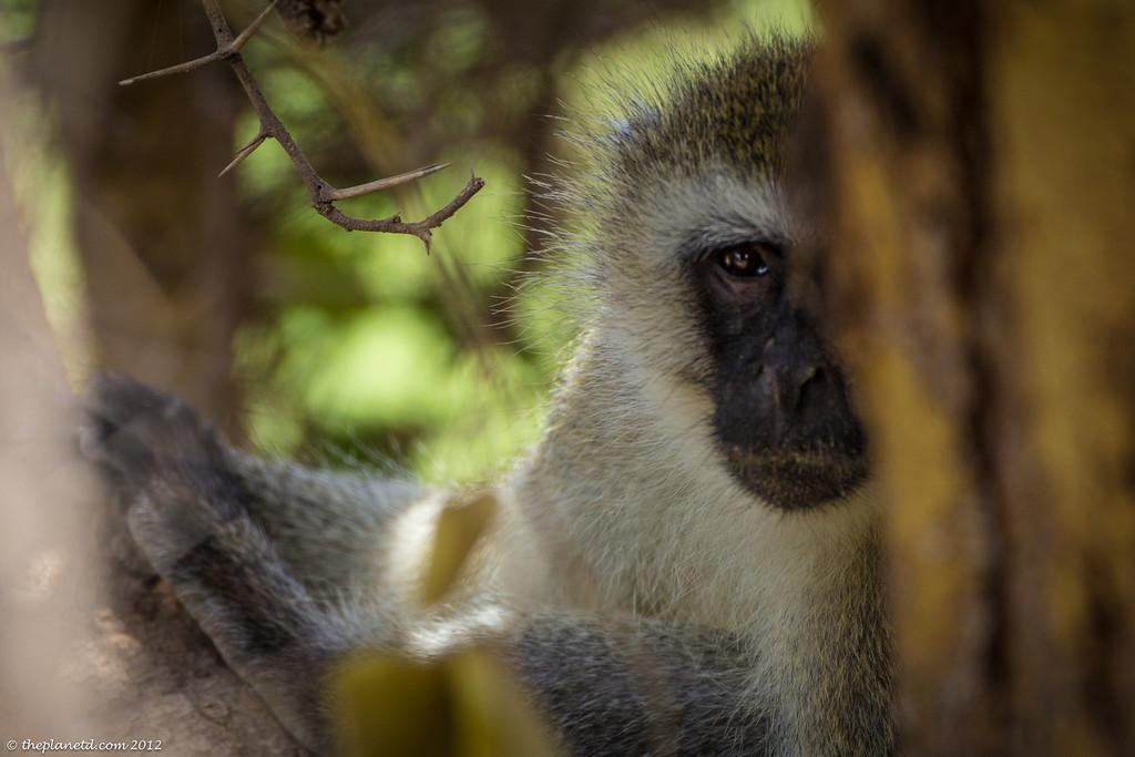 Sneaky monkey, Kenya