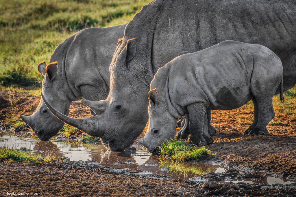 White Rhinos Lake Nakuru