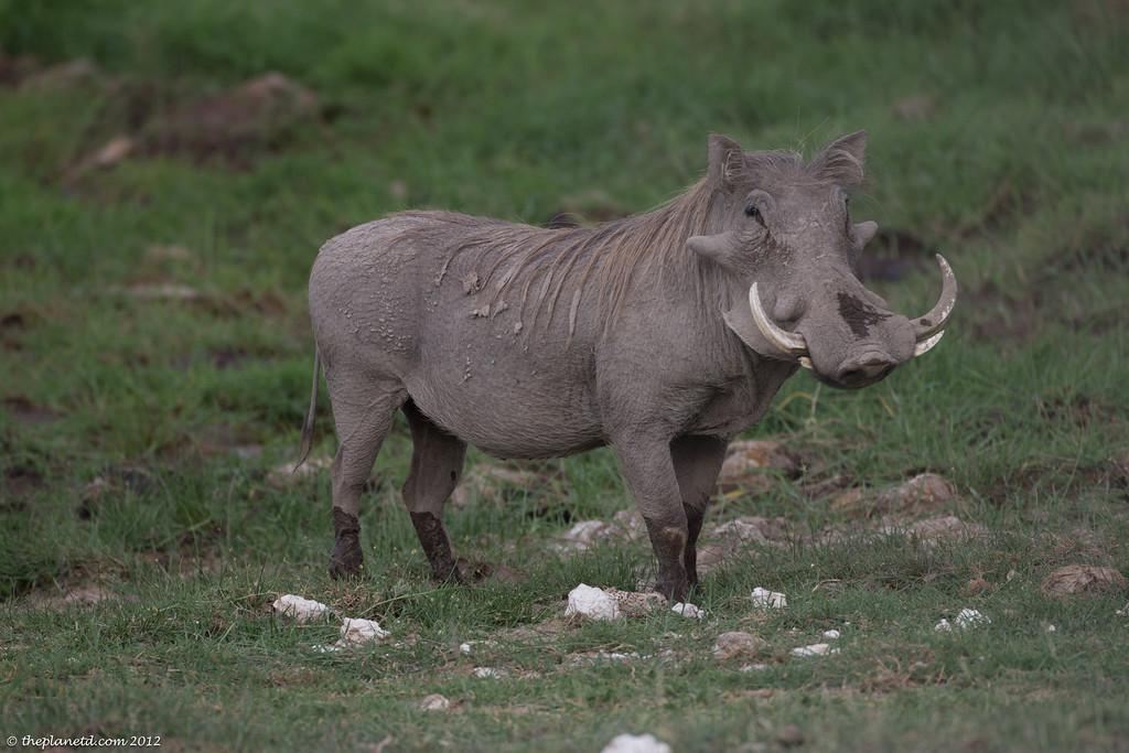 warthog kenya