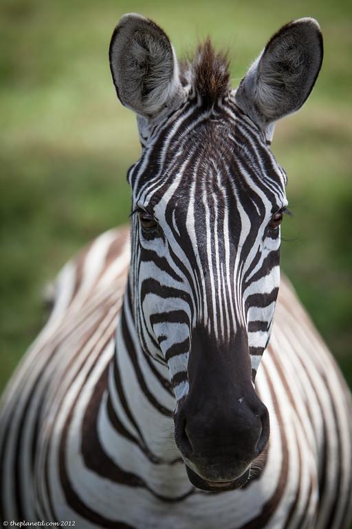 lake nakuru zebra