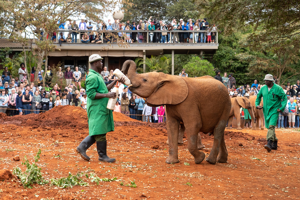 Feeding time at the David Sheldrick Elephant Orphanage