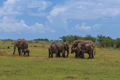 Masai Mara, Kenya African Elephant herd