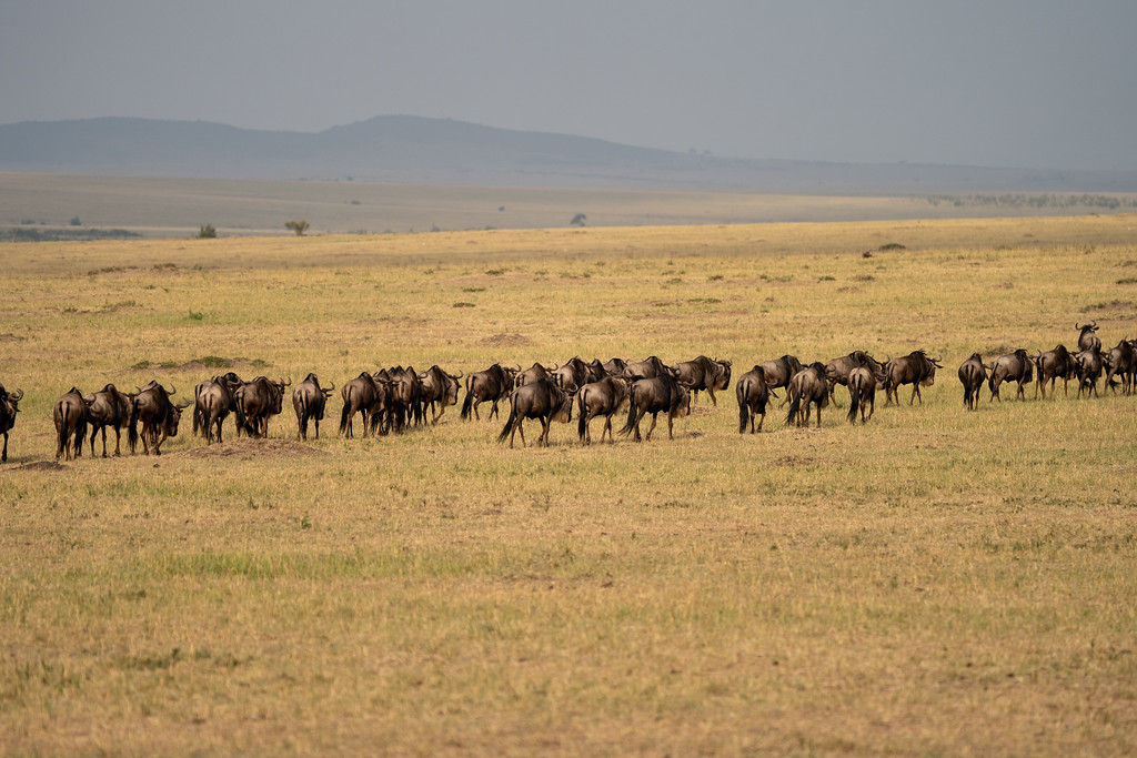 Migrating wildebeest in Kenya