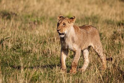 Masai Mara, Kenya A young lion stalking on the Masai Mara