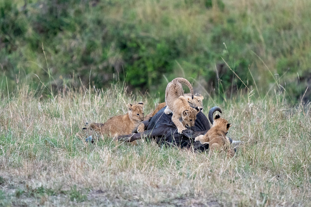Lion cubs playing on a dead wildebeest