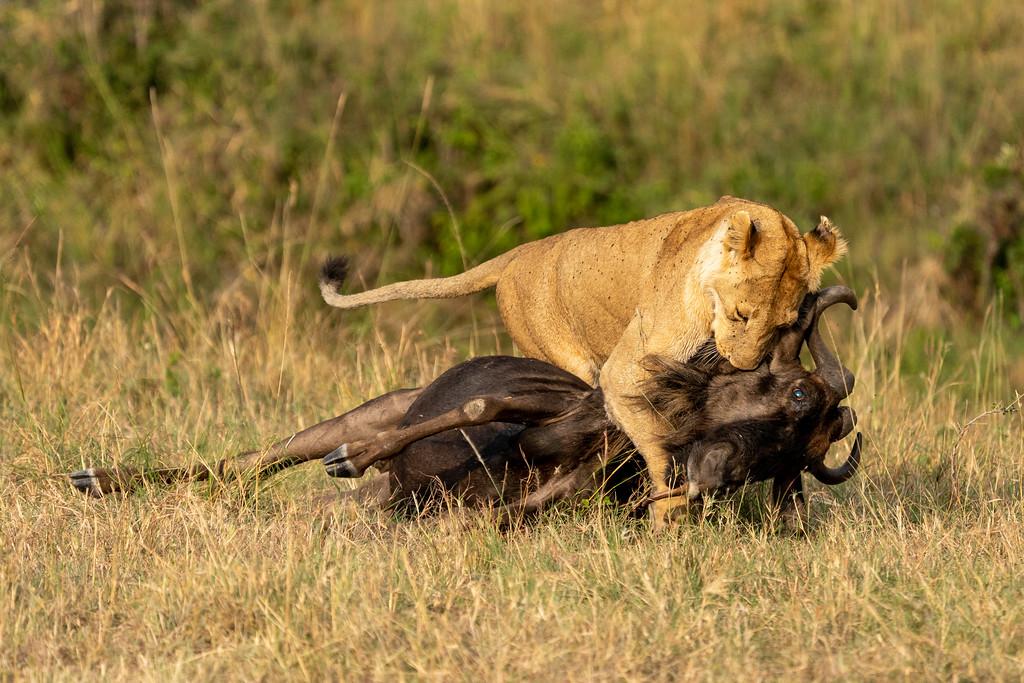 Lioness dragging a dead wildebeest