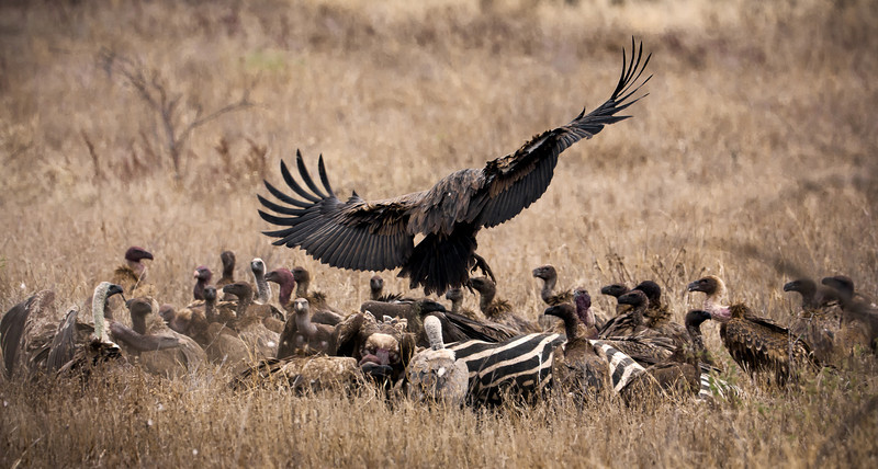 An incoming vulture joins numerous others at a dead-zebra buffet.<br /> <br /> Location: Tsavo West National Park, Kenya<br /> <br /> Lens used: 100-400mm f4.5-5.6 IS