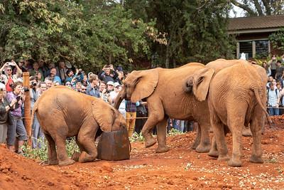 Baby elephants at the David Sheldrick Elephant Orphanage in Nairobi