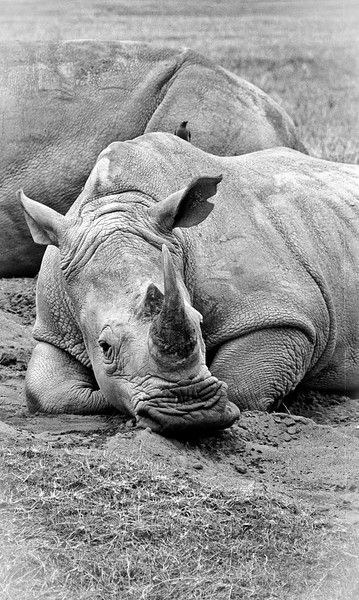 A white rhino is very unimpressed with our company. Taken using a Canon film SLR in Kenya 2004.