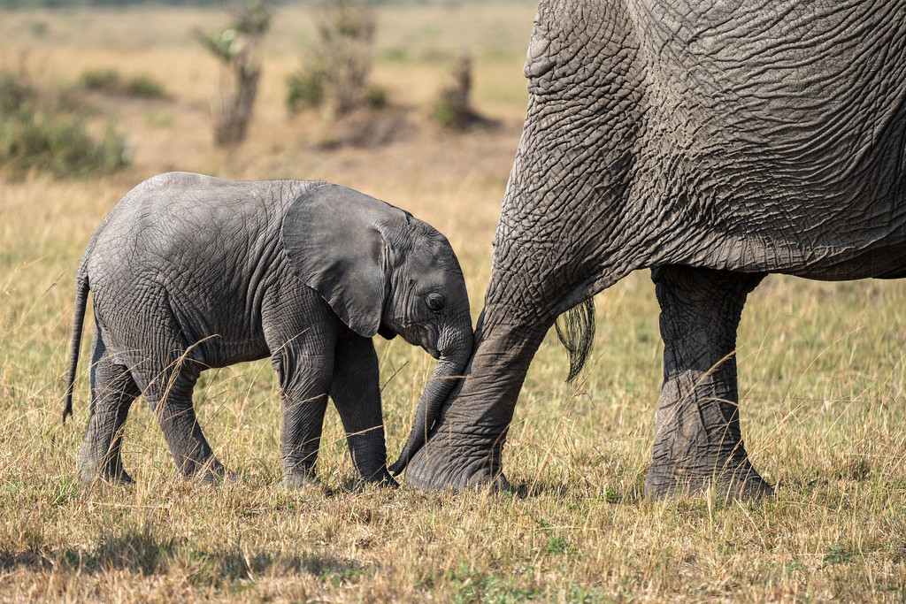 Baby elephant in the Maasai Mara