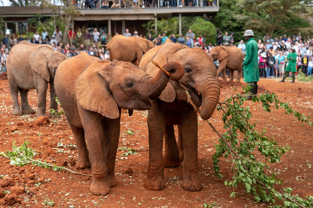 Playful baby elephants at the David Sheldrick Elephant Orphanage