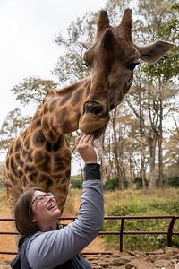 Feeding a giraffe at the Giraffe Centre