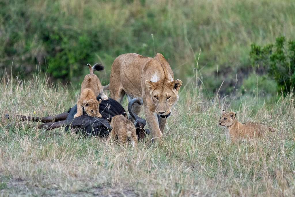 Mother lion and her cubs with a fresh kill