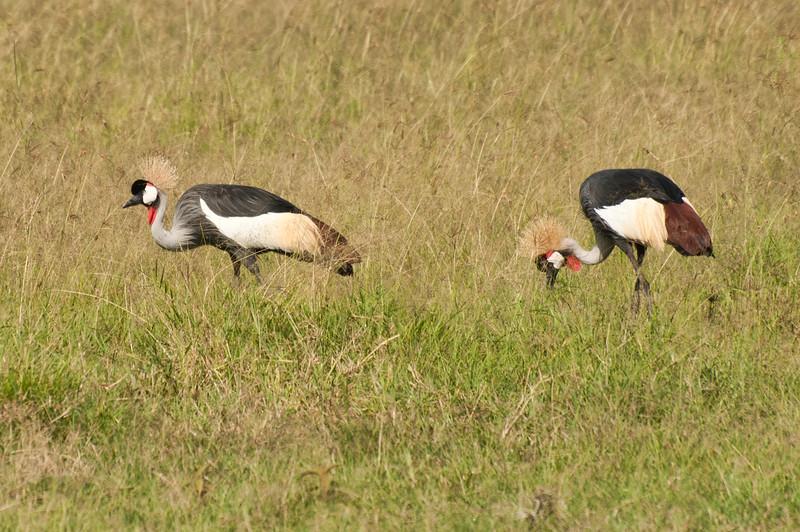 Gray Crowned Cranes, Masai Mara, Kenya