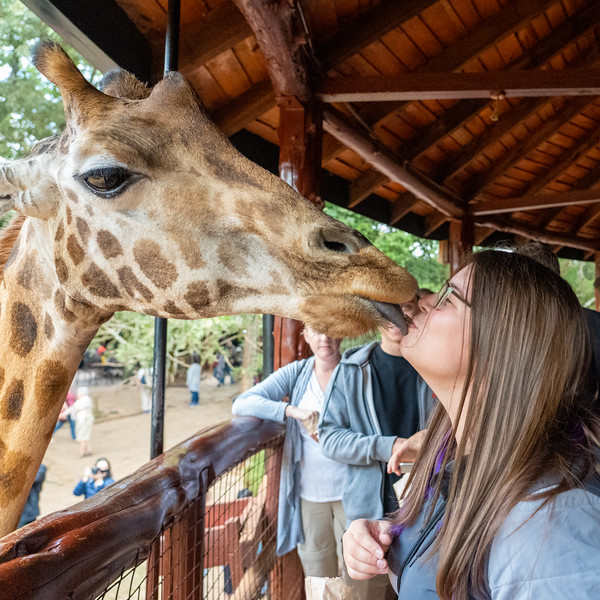 Giraffe kiss at the Giraffe Centre