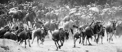 Wildebeest panic