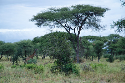 Giraffe under Umbrella Thorn Trees