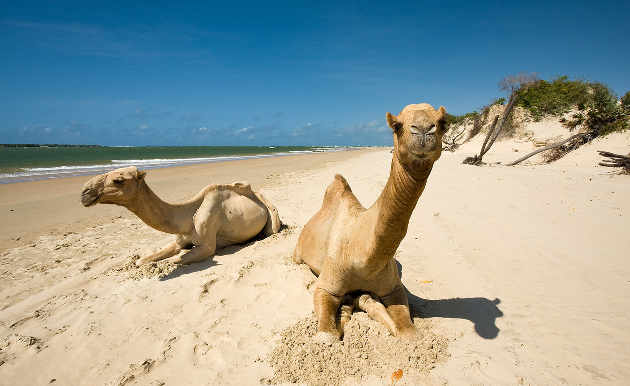 A couple of camels taking a break on the beach.<br /> <br /> Location: Shela, Lamu island, Kenya<br /> <br /> Lens used: 10-22mm f3.5-4.5