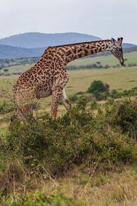 Masai Mara, Kenya Giraffe
