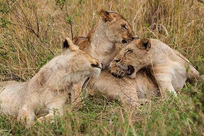 Masai Mara, Kenya Young lions at play.