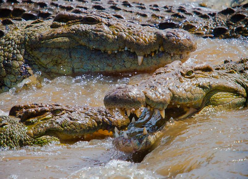 Crocodile lie in wait