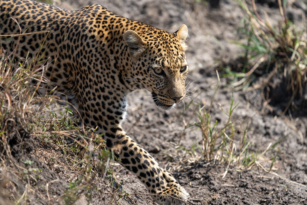 Leopard in the Maasai Mara