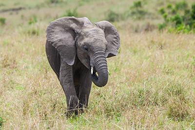 Masai Mara, Kenya African Elephant