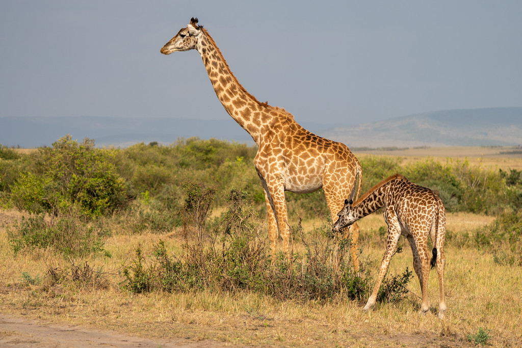 Giraffes in the Maasai Mara