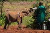 Orphan-elephant rescue and rehabilitation program, the David Sheldrick Wildlife Trust, Kenya.  February 2016
