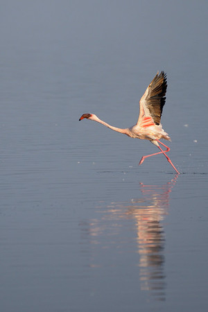 Greater Flamingo at Lake Nakuru.