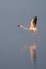Greater Flamingo at Lake Nakuru.