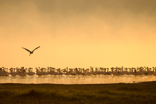 Lesser flamingos at sunrise on Lake Nakuru.