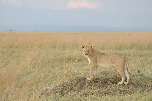 This young female had become separated from the rest of the Marsh Pride. Every few minutes she would call out for them. Musiara Marsh, Masai Mara.
