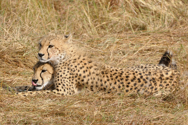 A female cheetah with her (now almost grown-up) cub. Masai Mara.