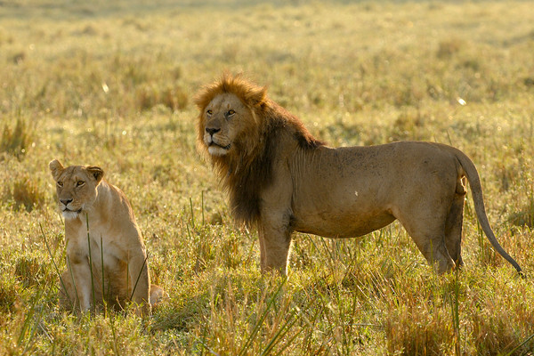 These lions from the Marsh Pride were looking to mate, but were disturbed. Musiara Marsh, Masai Mara.