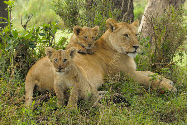 These little cubs were the newest additions to the Marsh Pride. They were a litter of three, and one of them had gone exploring leaving the others with mum. Musiara Marsh, Masai Mara.