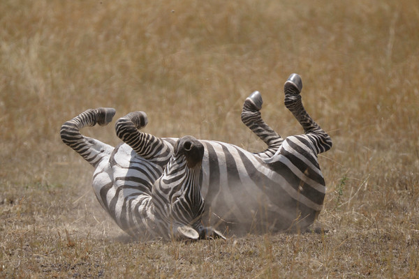 This zebra was enjoying a dust bath until it realised it was being watched. Masai Mara.
