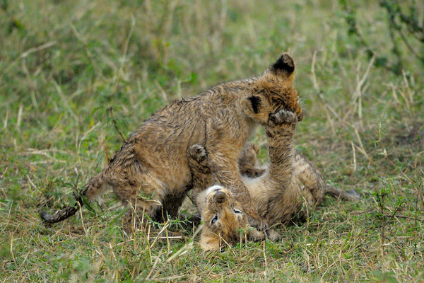 As soon as the rain stopped, the lion cubs got back to their play fighting. Musiara Marsh, Masai Mara.