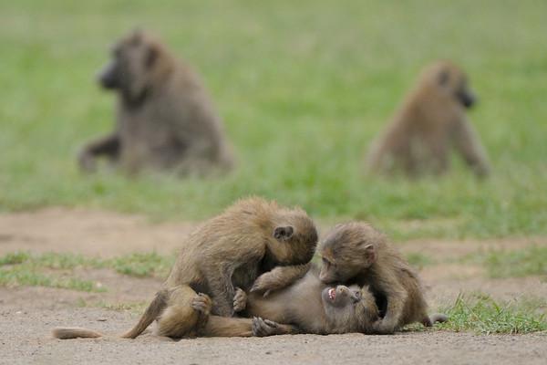 Olive baboons messing around in Lake Nakuru.