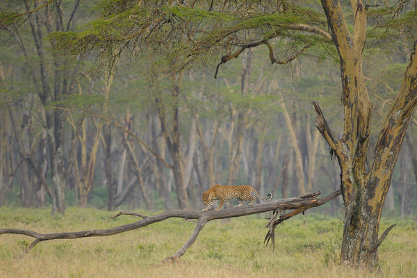 My first African leopard sighting! Typical for the shy cat, it wasn't exactly a close encounter. Lake Nakuru.