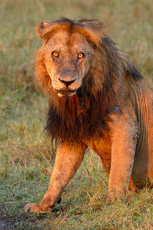 The oldest male from the Marsh pride. Musiara Marsh, Masai Mara.