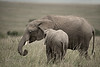 Whispered secrets, mother and daughter. Elephants, Maasai Mara, Kenya