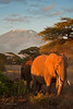 Mount Kilimanjaro and early morning light on elephants. Amboseli NP, Kenya