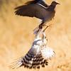 Goshawk Versus Turtle Dove