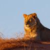 Kalahai Lion