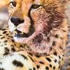 Never Trust A Resting Cheetah