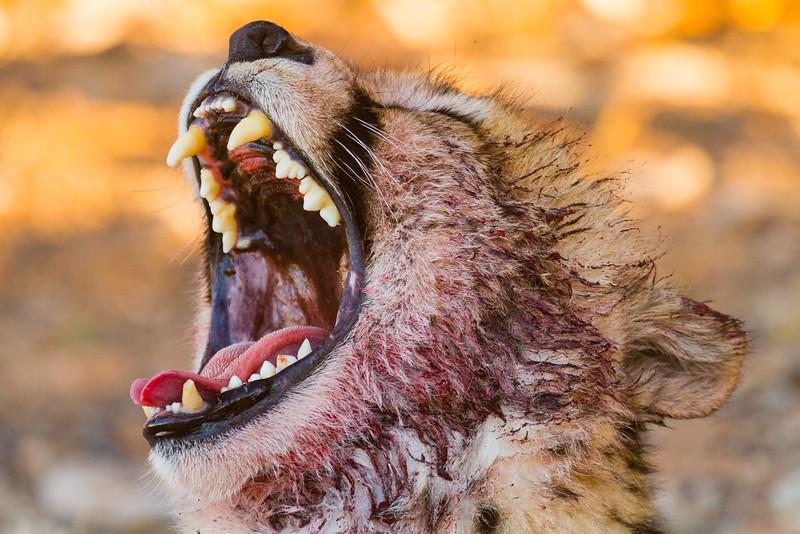 A cheetah yawns after feasting on an wildebeest carcass