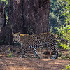 There is so much to see here, but this prowling leopard was quite unexpected.
