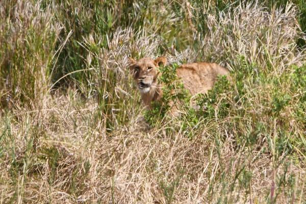 Lion Cub Finally Stood Up, Briefly
